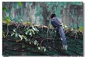 臺灣國寶 藍鵲:DSCF0526