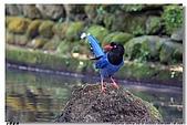 臺灣國寶 藍鵲:DSCF0564