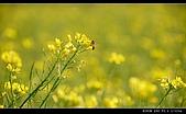 觀音油菜花:DSC_2022