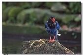 臺灣國寶 藍鵲:DSCF0514