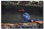 臺灣國寶 藍鵲:DSCF0516