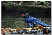 臺灣國寶 藍鵲:DSCF0517