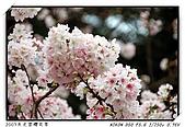 春櫻滿開天元宮:DSC_4128