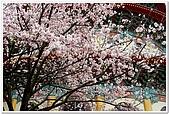 春櫻滿開天元宮:DSC_4142