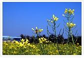 觀音油菜花:DSC_2033