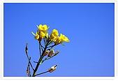 觀音油菜花:DSC_2035