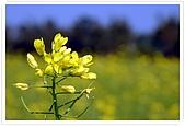 觀音油菜花:DSC_2051