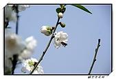 貓空杏花林:DSCF1054.jpg