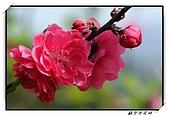 貓空杏花林:DSCF1083.jpg