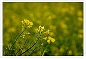 觀音油菜花:DSC_2030