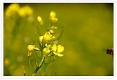 觀音油菜花:DSC_2031
