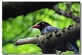臺灣國寶 藍鵲:DSCF0478