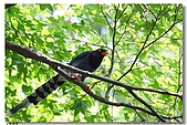 臺灣國寶 藍鵲:DSCF0507
