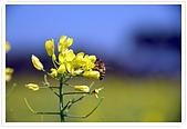 觀音油菜花:DSC_2060