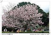 春櫻滿開天元宮:DSC_4244