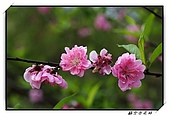 貓空杏花林:DSCF1071.jpg