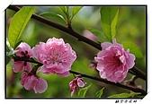 貓空杏花林:DSCF1073.jpg