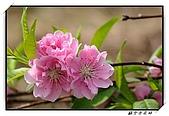 貓空杏花林:DSCF1074.jpg