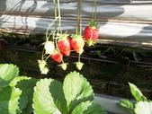 103年1月11日採草莓:SDC13758.JPG