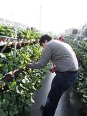 103年1月11日採草莓:SDC13761.JPG