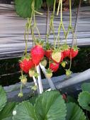 103年1月11日採草莓:2014-01-11 14.56.42.jpg