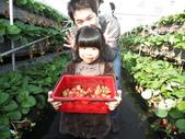 103年1月11日採草莓:SDC13759.JPG