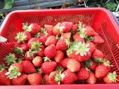 103年1月11日採草莓:SDC13769.JPG