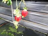 103年1月11日採草莓:SDC13768.JPG