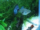 水族:孔雀魚---母的