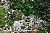 油桐花盛開-小粗坑古道-20090505:小粗坑古道桐花-20090505-020 (Large).jpg