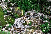 油桐花盛開-小粗坑古道-20090505:小粗坑古道桐花-20090505-021 (Large).jpg
