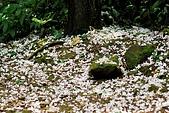 油桐花盛開-小粗坑古道-20080509:油桐花-小粗坑古道-20080509-042 (Large).jpg