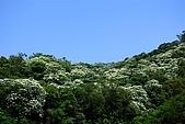 油桐花盛開-小粗坑古道-20080509:油桐花-小粗坑古道-20080509-003 (Large).jpg