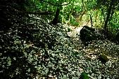油桐花盛開-小粗坑古道-20080509:油桐花-小粗坑古道-20080509-051 (Large).jpg