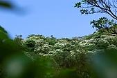油桐花盛開-小粗坑古道-20080509:油桐花-小粗坑古道-20080509-004 (Large).jpg