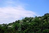 油桐花盛開-小粗坑古道-20080509:油桐花-小粗坑古道-20080509-005 (Large).jpg