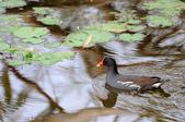 鳥松濕地公園拍鳥:130316-1 (23).jpg