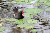 鳥松濕地公園拍鳥:130316-1 (24).jpg