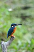 鳥松濕地公園拍鳥:130316-1 (29).jpg