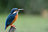 鳥松濕地公園拍鳥:130316-1 (30).jpg