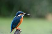 鳥松濕地公園拍鳥:130316-1 (31).jpg