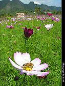 2007年美濃波斯菊花海:0121-1-02