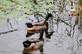 鳥松濕地公園拍鳥:130316-1 (12).jpg