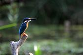 鳥松濕地拍鳥-2:130322 (12).jpg