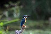 鳥松濕地拍鳥-2:130322 (13).jpg