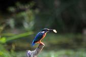 鳥松濕地拍鳥-2:130322 (15).jpg