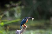 鳥松濕地拍鳥-2:130322 (17).jpg