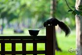 20110821_大安森林公園之松鼠過馬路:Canon EOS 5D Mark II-20110821-0742-16.jpg