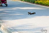 20110821_大安森林公園之松鼠過馬路:Canon EOS 5D Mark II-20110821-0742-20.jpg