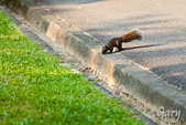 20110821_大安森林公園之松鼠過馬路:Canon EOS 5D Mark II-20110821-0743-22.jpg